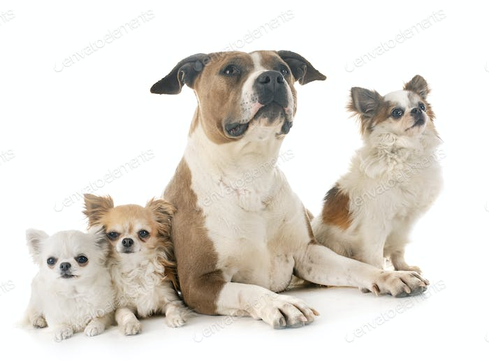 american staffordshire terrier and chihuahuas