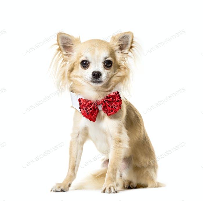 Porträt eines Chihuahua sitzt und trägt eine Fliege vor, Hund, Haustier