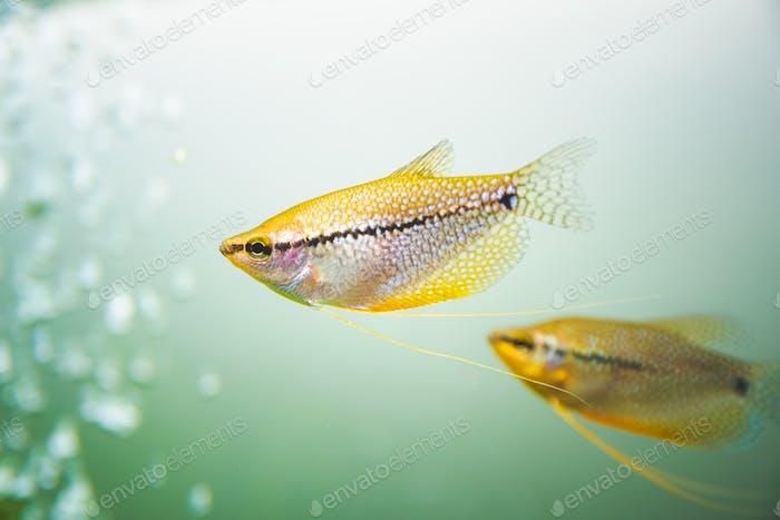 Pearl gourami Trichopodus leerii freshwater aquarium fish in fish tank