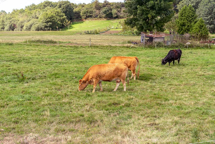 Cows on a grass field