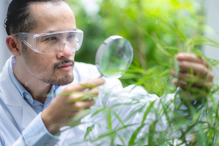 scientist checking organic cannabis hemp plants in weed greenhouse, alternative legalization herbal