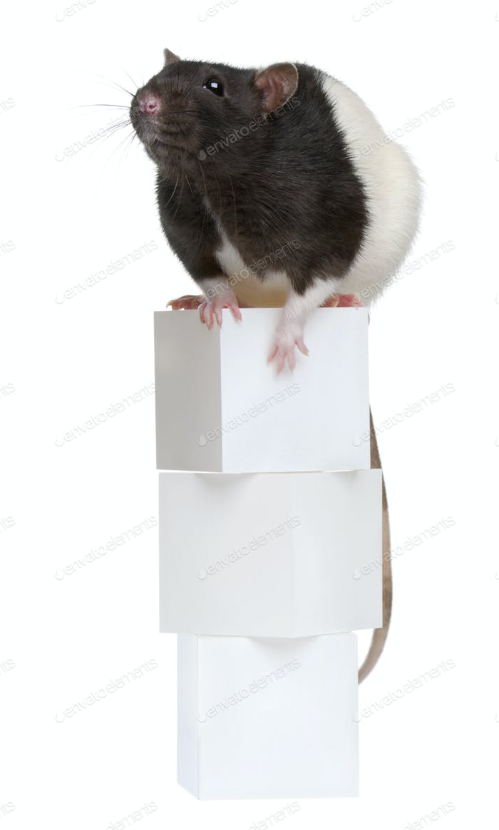 Fancy Rat, 1 year old, sitting on boxes in front of white background
