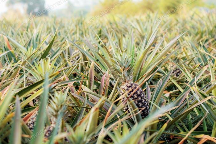 Pineapple on plantation with sunrise