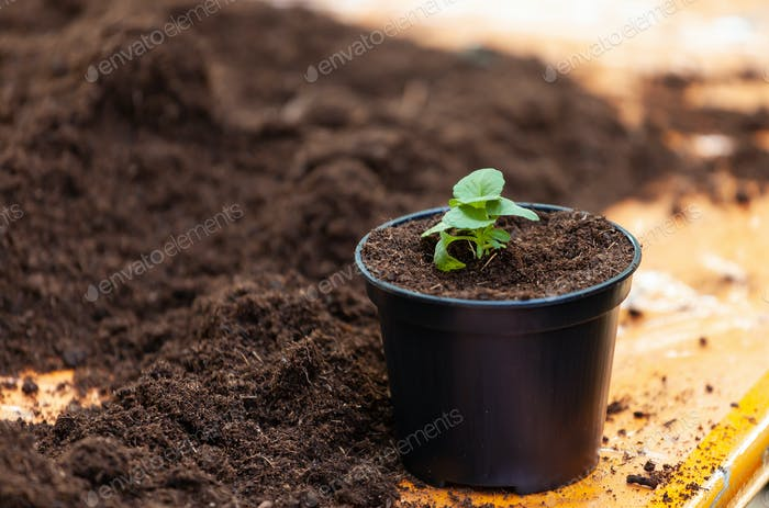 Young fresh seedling stands in plastic pot.