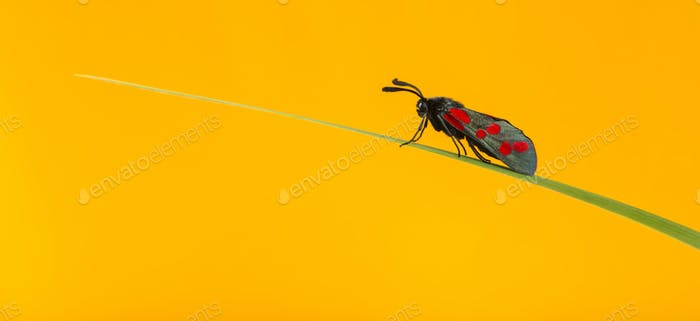 Six-spot burnet, Zygaena filipendulae, on a blade of grass in front of an orange background