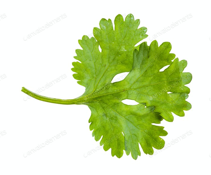 green leaf of fresh cilantro herb isolated