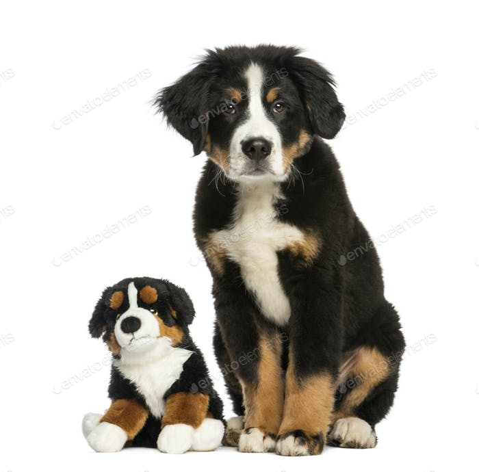 Young Bernese Mountain dog, 3,5 months old, sitting with teddy bear, isolated on white