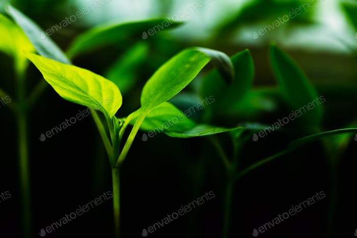 Green Sprout With Leaf, Leaves Growing. Spring Concept Of New Li