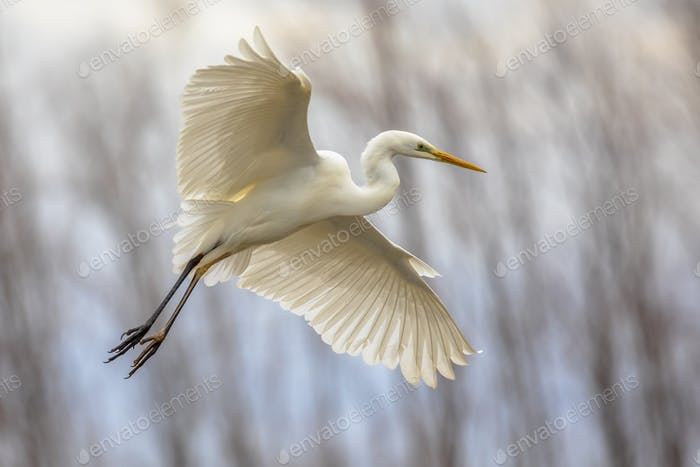 Great white Egret flying
