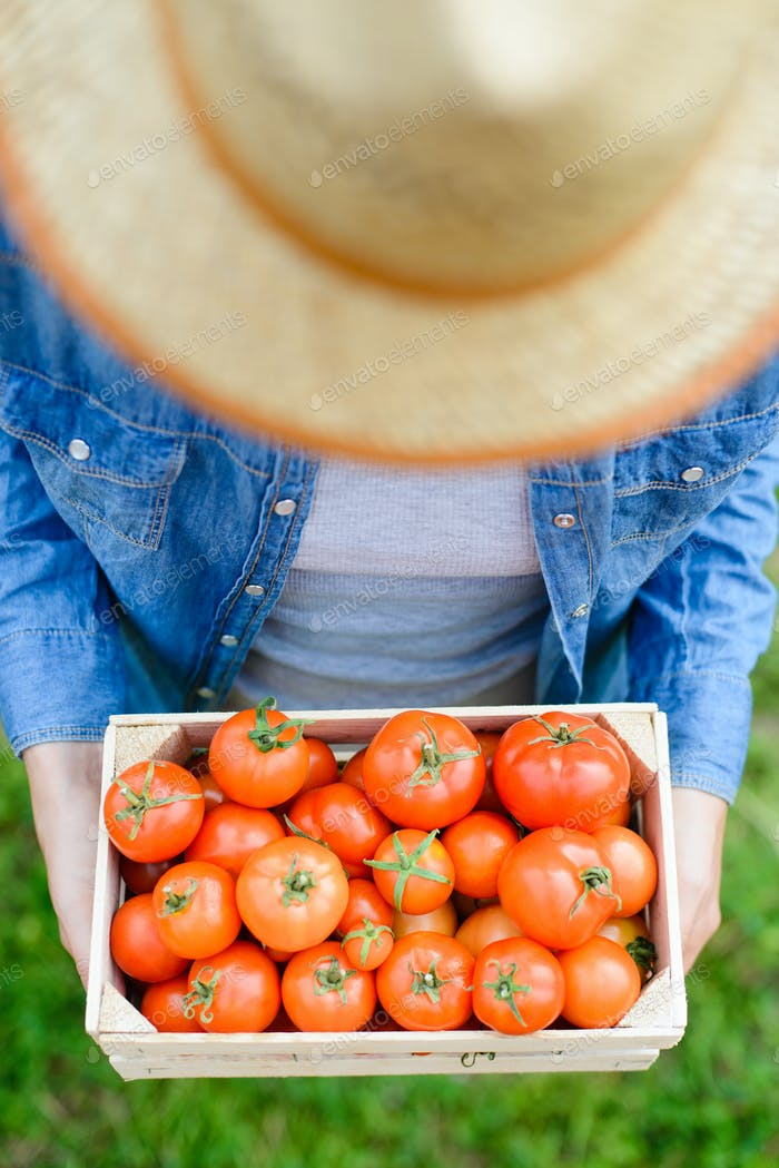 fresh tomato harvest