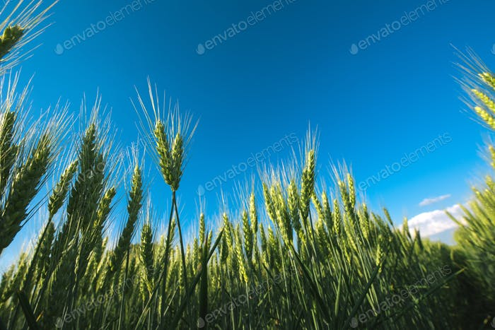 Low angle barley crop field