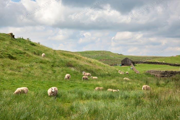 Sheep Grazing in Northumberland