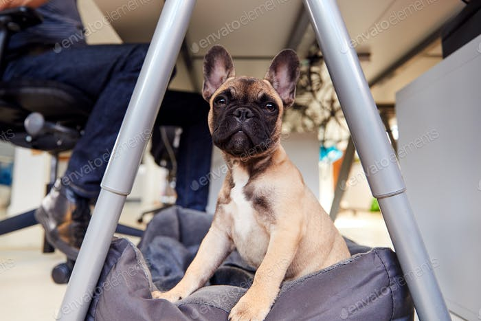 French Bulldog Puppy Sitting On Bed Under Desk In Office Whilst Owner Works