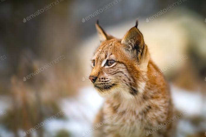 One eurasian lynx in the forest at winter looking for prey