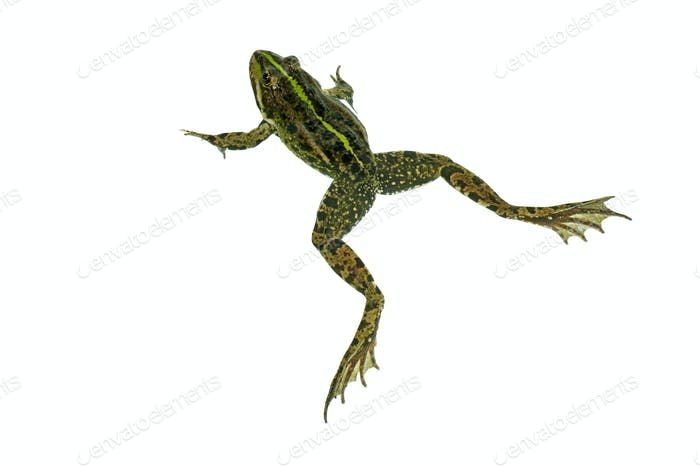 Common green frog isolated on white background. View from above