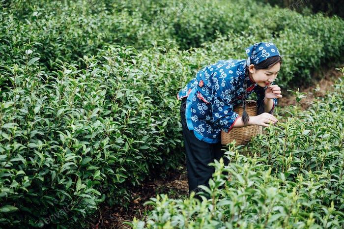 Chinesisches Mädchen pflücken Teeblätter