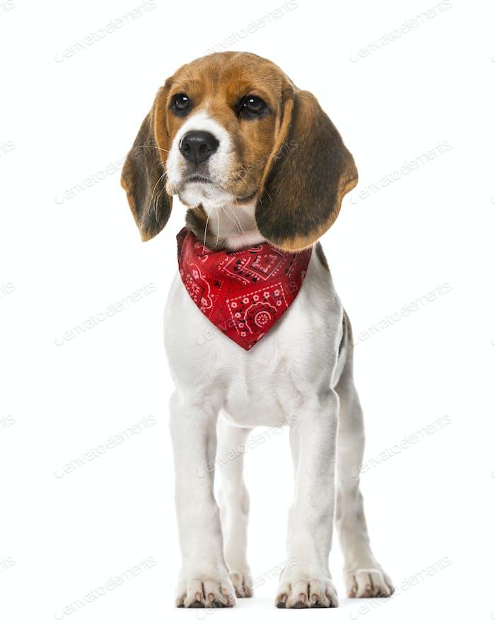 Ein Beagle Welpe mit einem Schal stehend, isoliert auf weiß, 9 Wochen alt