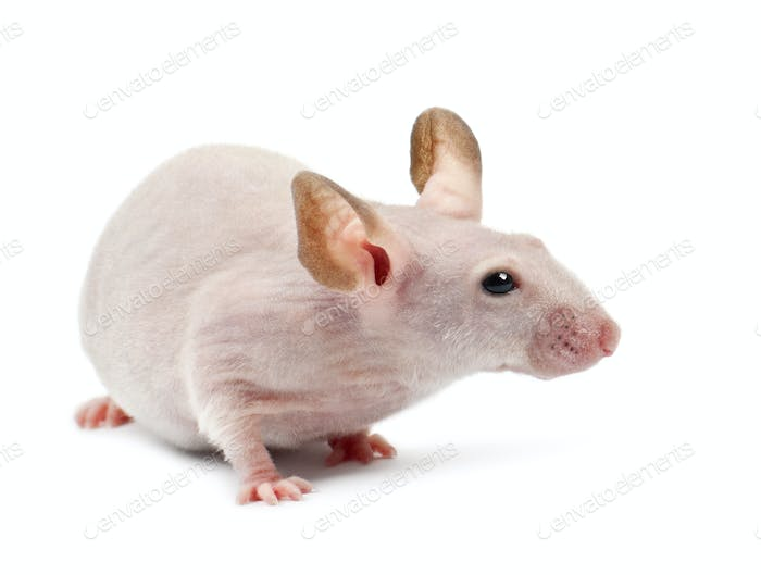 Hairless mouse, Mus musculus, against white background
