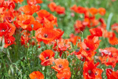 Poppies flower blossom. Beautiful wild field of red poppies. Summer time, beauty in nature
