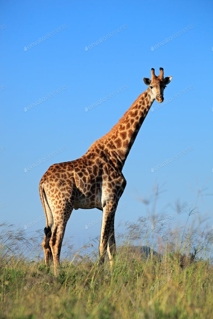 Giraffe bull - South Africa