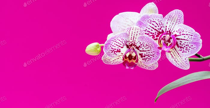 Orchids flowers purple white color closeup on bright pink