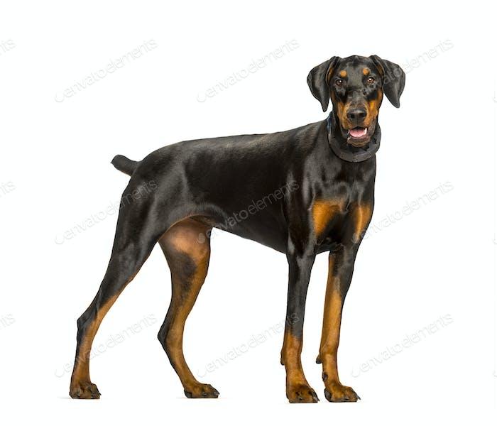 Panting Doberman dog standing against white background