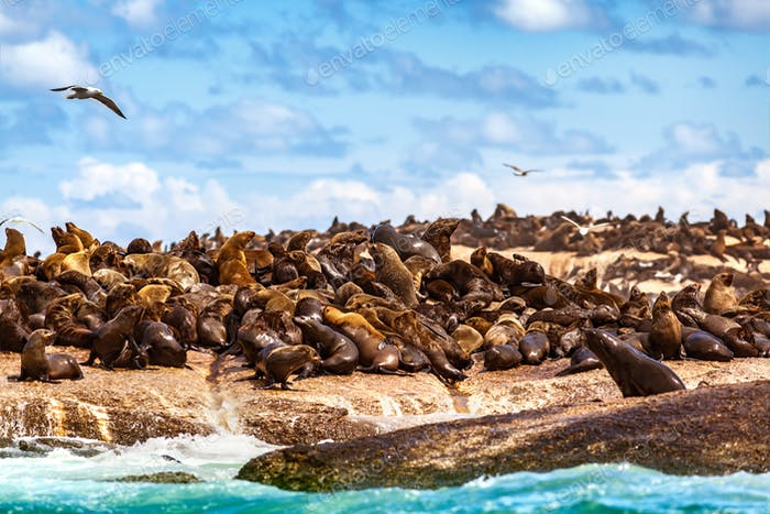 Wild seals on the rocks