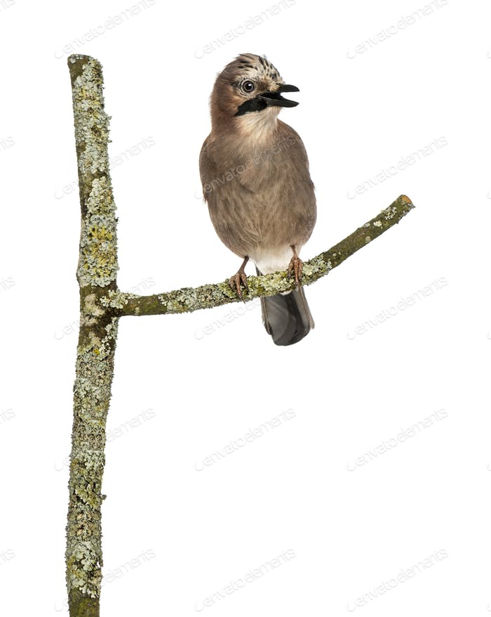 Eurasian Jay perching on a branch tweeting, Garrulus glandarius, isolated on white