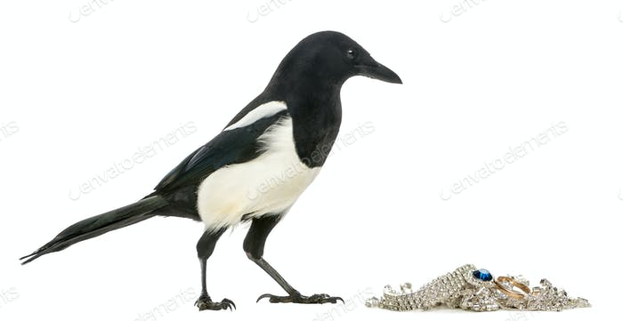 Side view of a Common Magpie with jewellery, Pica pica, isolated on white