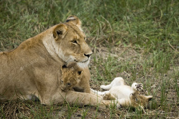 Lioness and her cubs in Serengeti, Tanzania, Africa