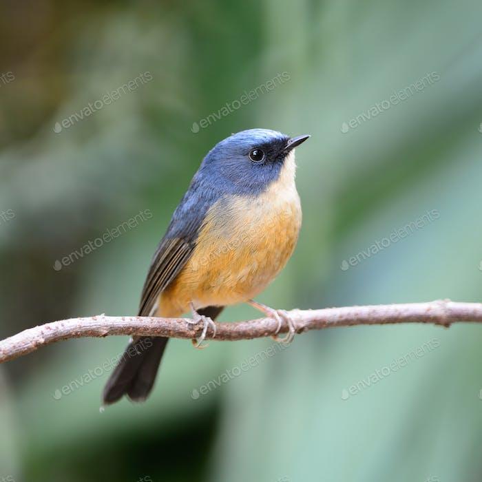 male Slaty-blue Flycatcher