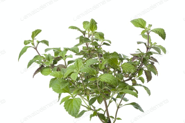 Fresh Aztec sweet herb