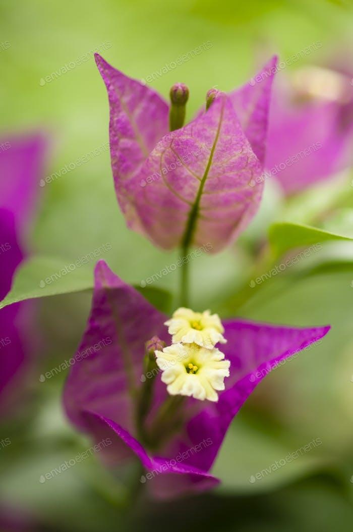 bouganville flower closeup