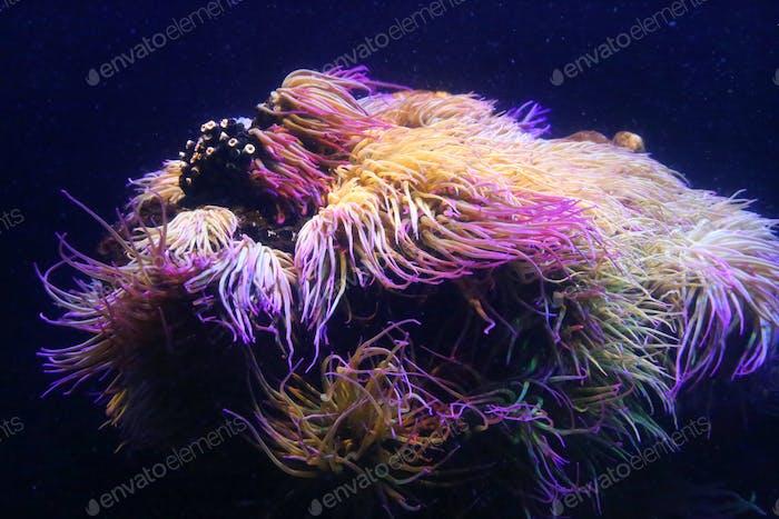 Erstaunliche Meerestiere (Anemonie, Aktinie, Anemone)
