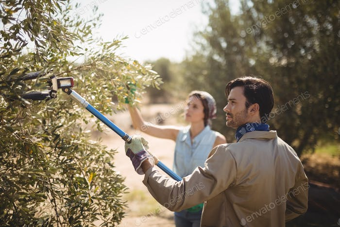 Man using olive rake with girlfriend at farm