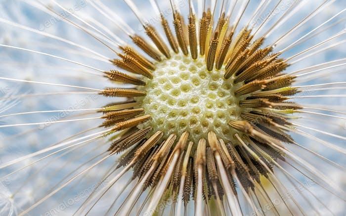 Dandelion Flower Head