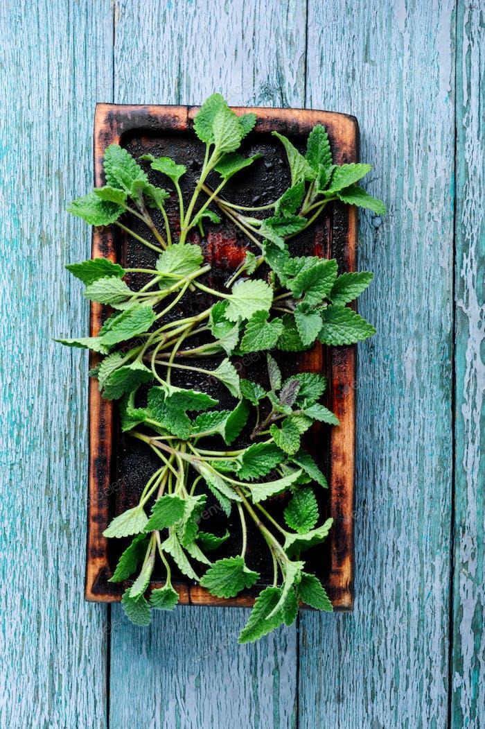 Fresh green leaf Melissa
