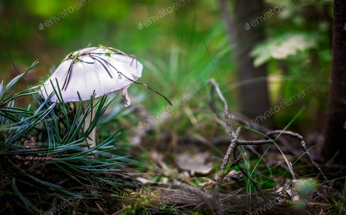 Beautiful small white mushroom
