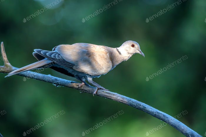 Collared dove or Streptopelia decaocto on branch