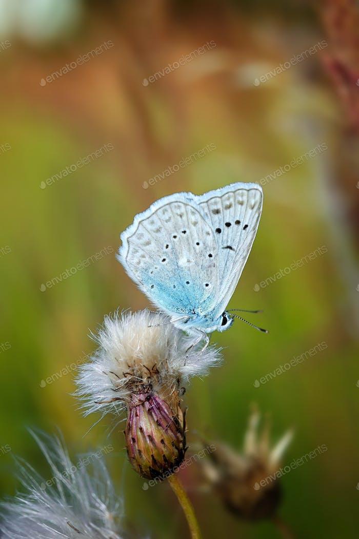 Wunderschöner Schmetterling Adonis Blau. Frühlingssaison, Tschechische Republik