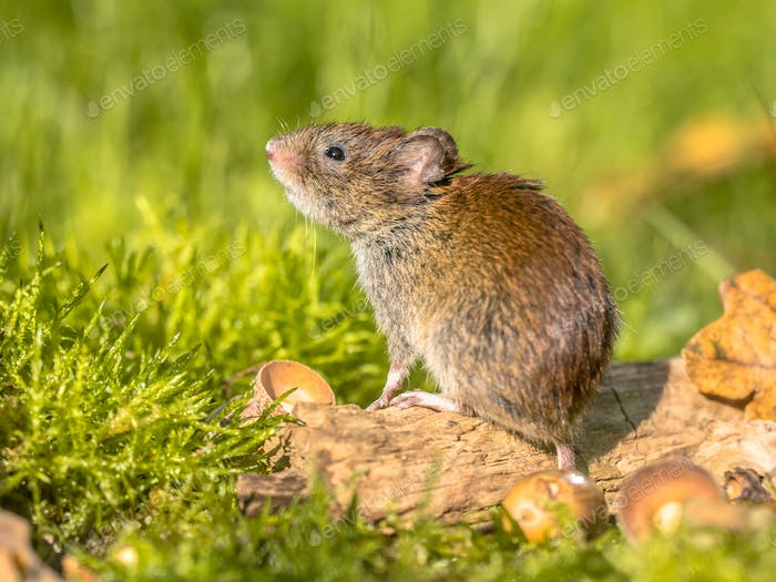 Bank vole autumn scene