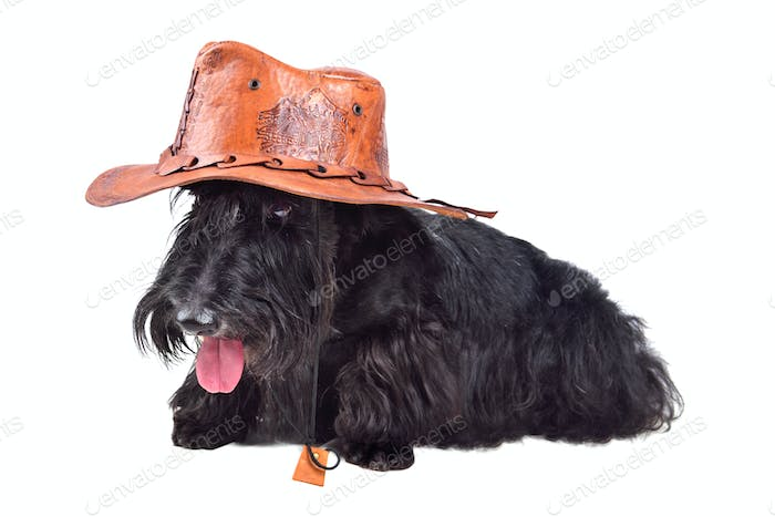 Scotch terrier in hat