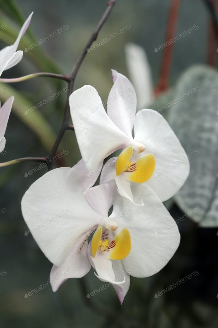 Detail of the bloom of orchid