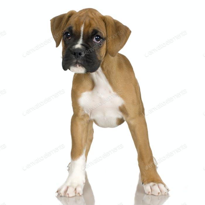 puppy Boxer (2 mounths)
