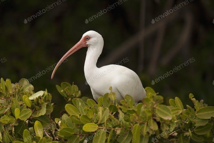 White Ibis in Mangroves.