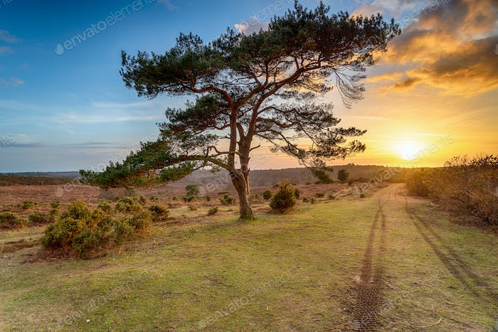 Beautiful sunset over a lone Pine tree at Bratley View