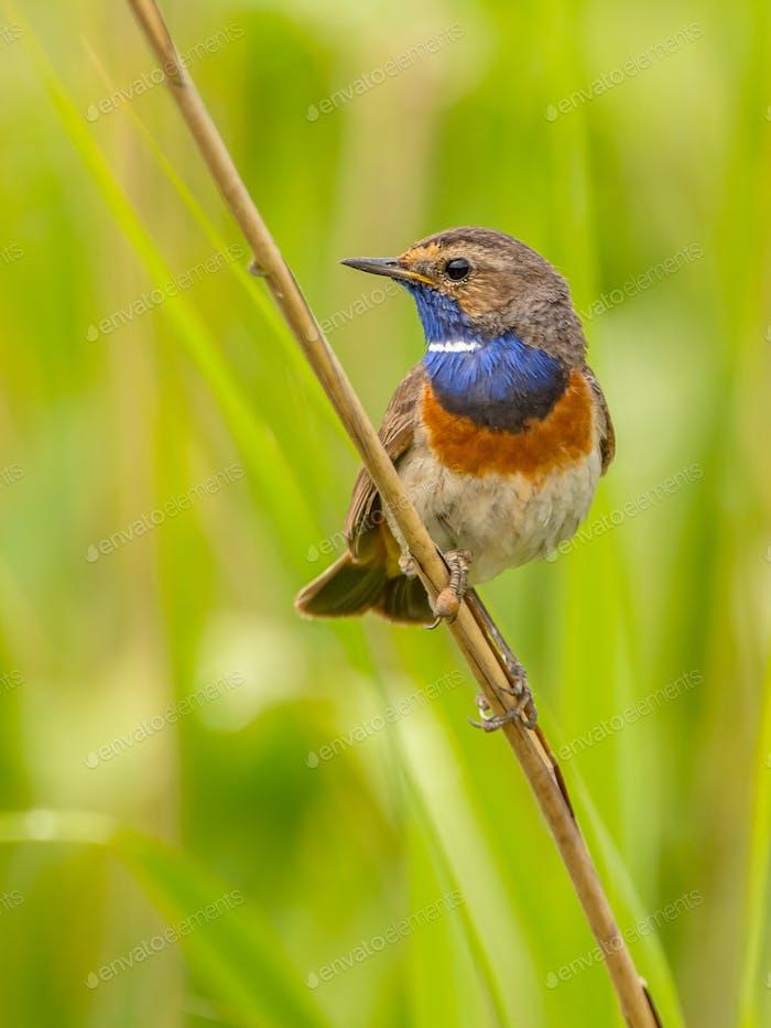 Male Bluethroat looking