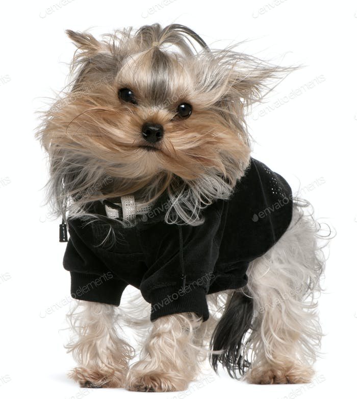 Yorkshire Terrier (14 months old)