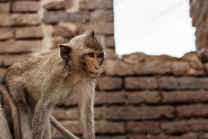 Monkey in farm on brick
