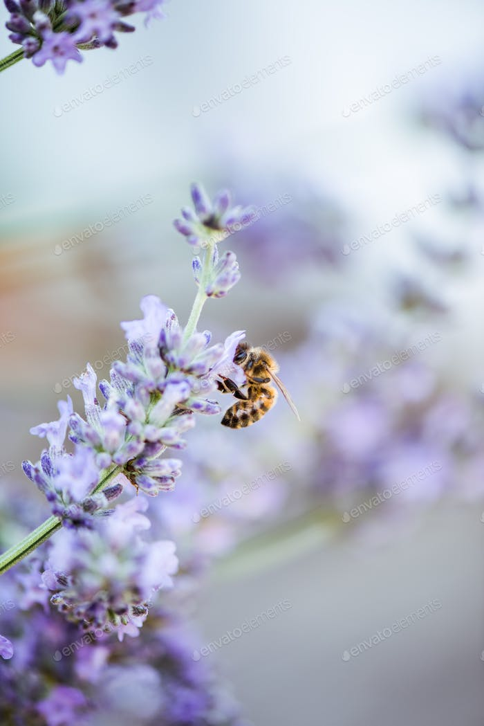 Bee on lavender taking nectar and pollen